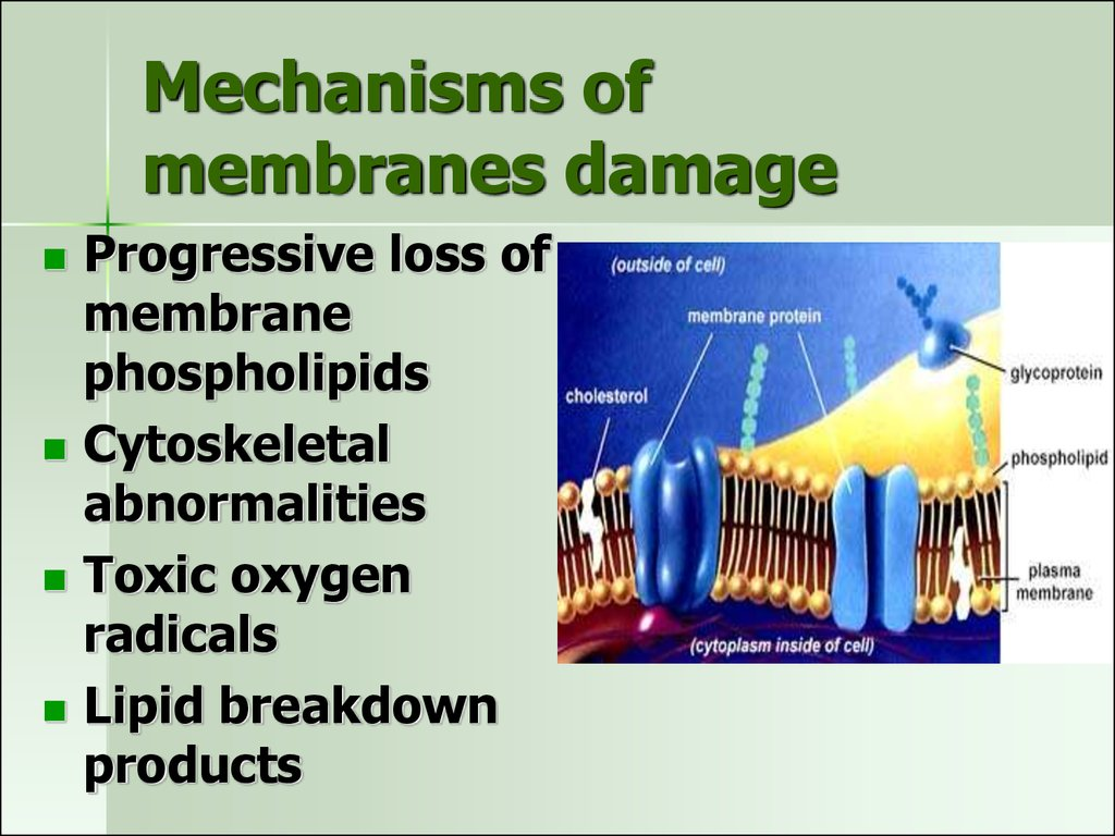 Mechanisms of membranes damage