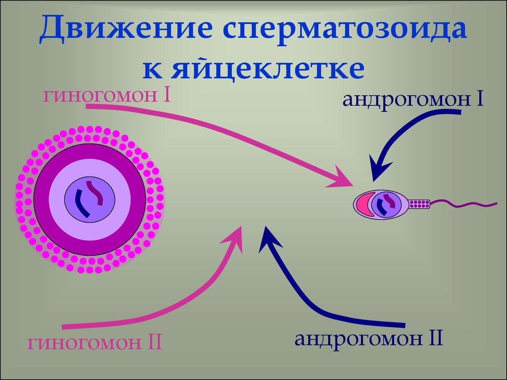Срок жизни сперматозоида