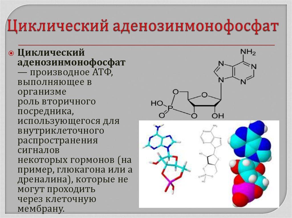 Что означает понятие аденозинмонофосфат циклический цамф