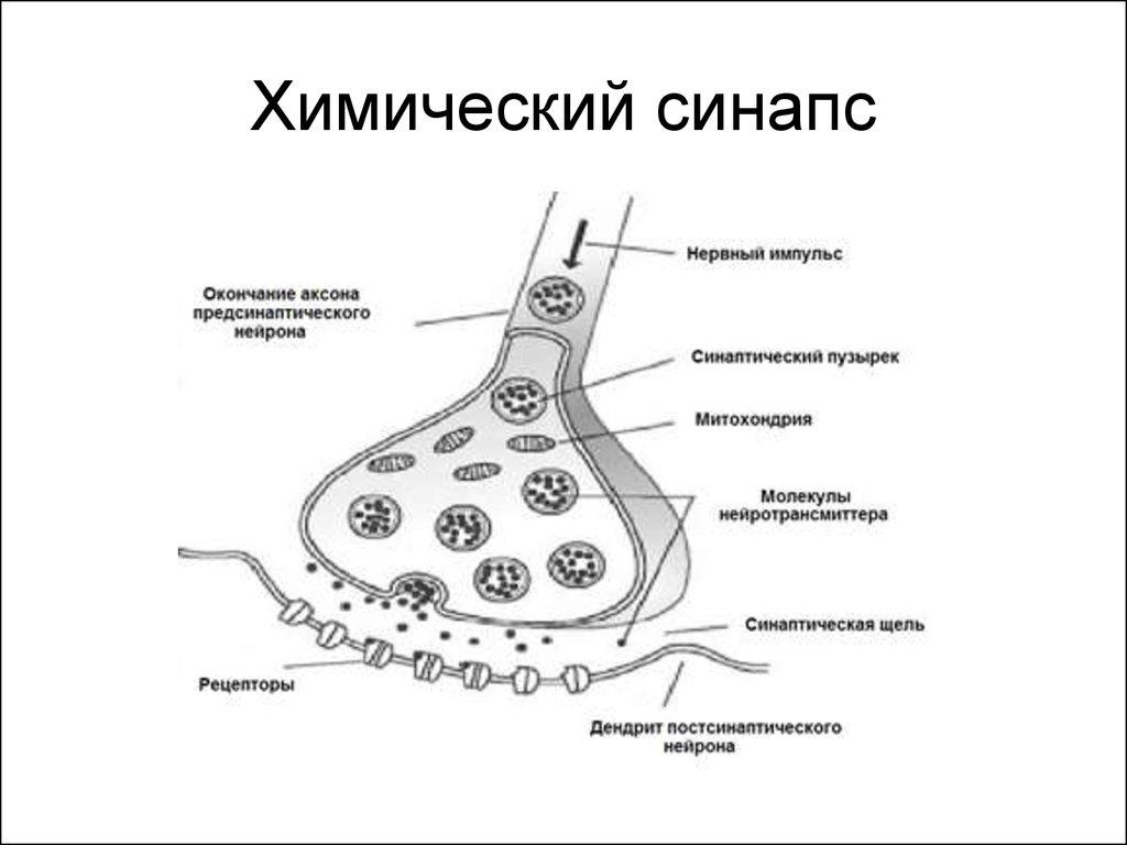 короткими синапс в картинках этот вариант дешевых