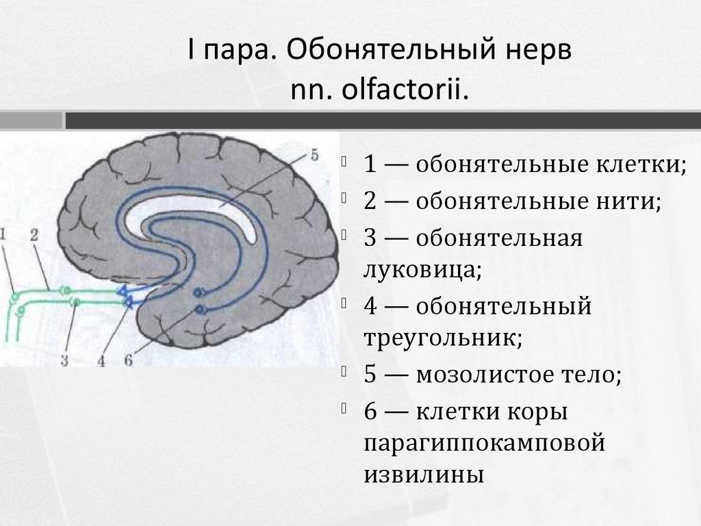 Схема черепно мозговых нервов фото 818