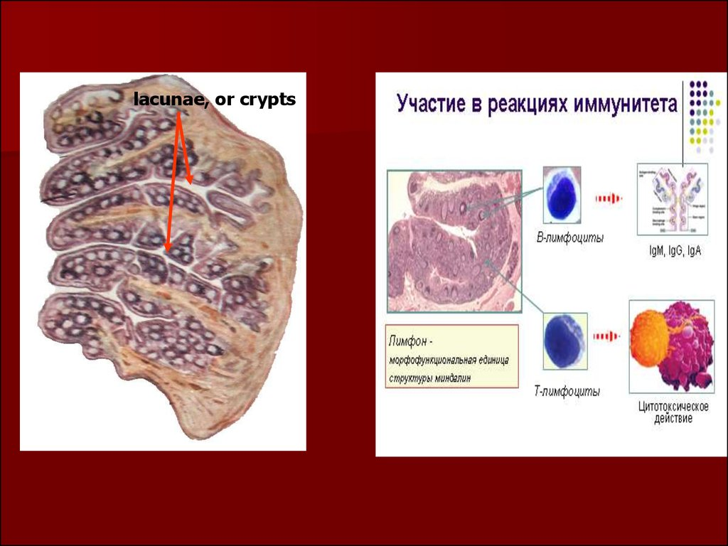 Clinical anatomy, physiology and methods of examination of the