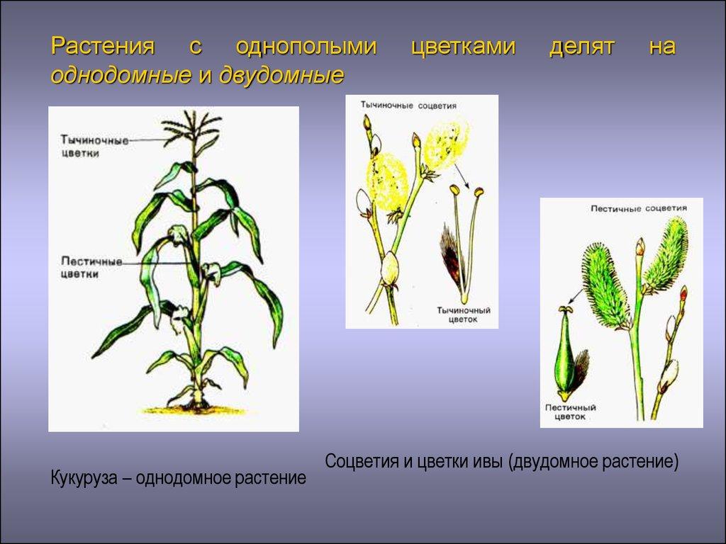 однодомные и двудомные растения как различать