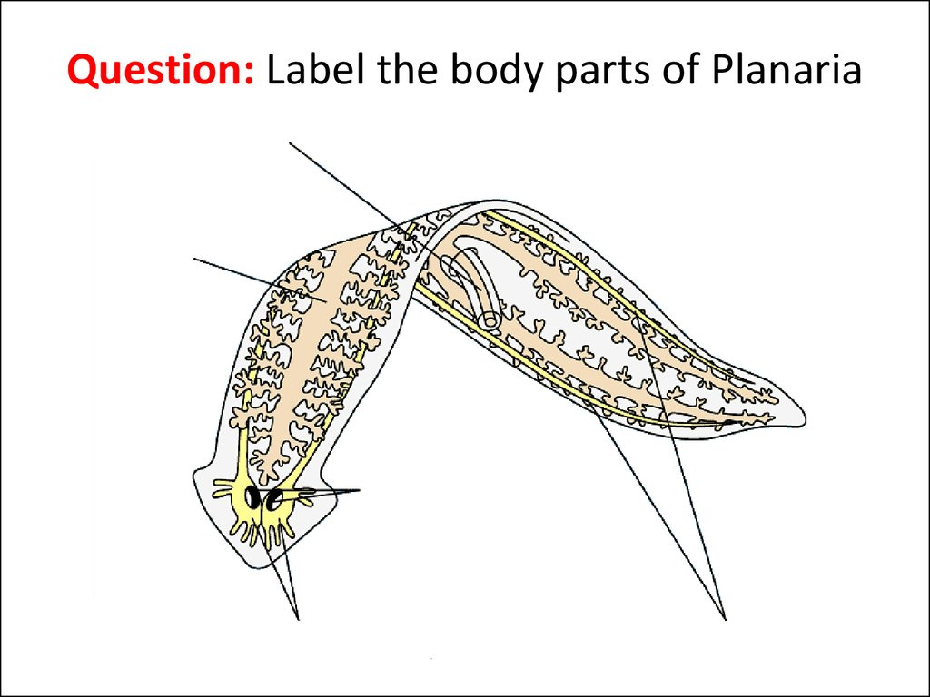 Topic Flatworms Online Presentation