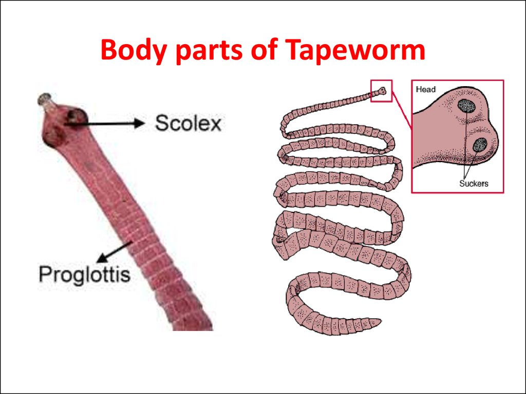 Body parts of Tapeworm