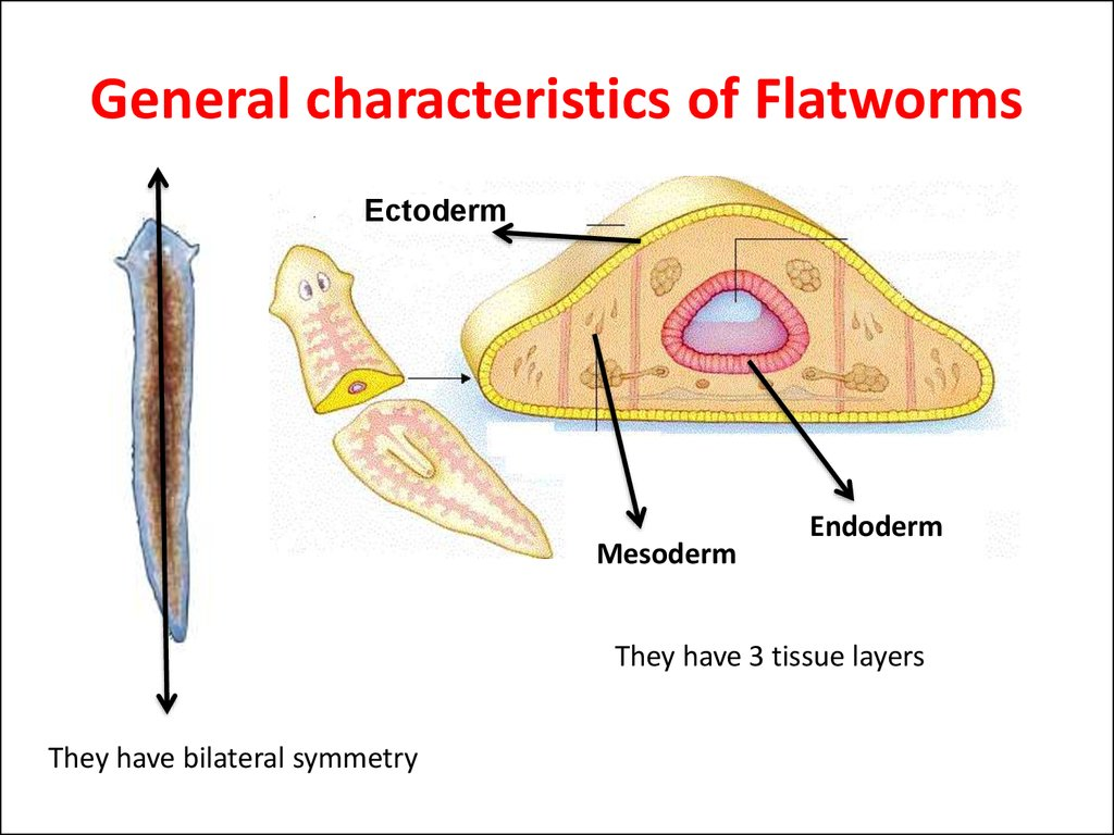 General characteristics of Flatworms