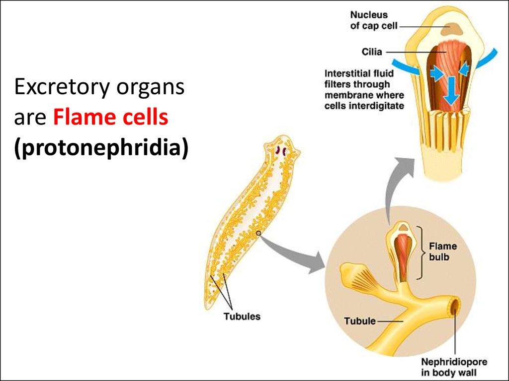 nephridiopore platyhelminthes