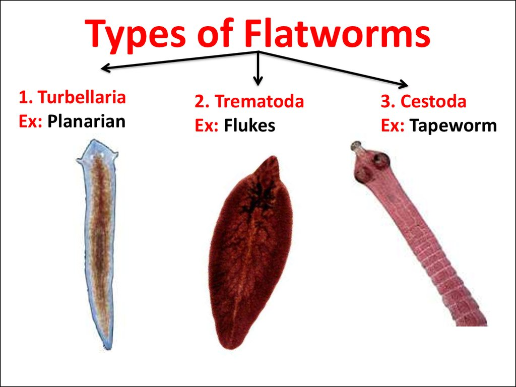 Types of Flatworms