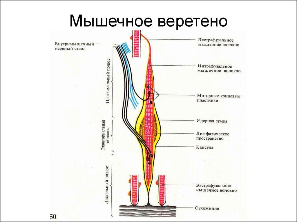Muskosceletal physiology   Essay Help - voessayvqys.ahmedelbatrawy.us
