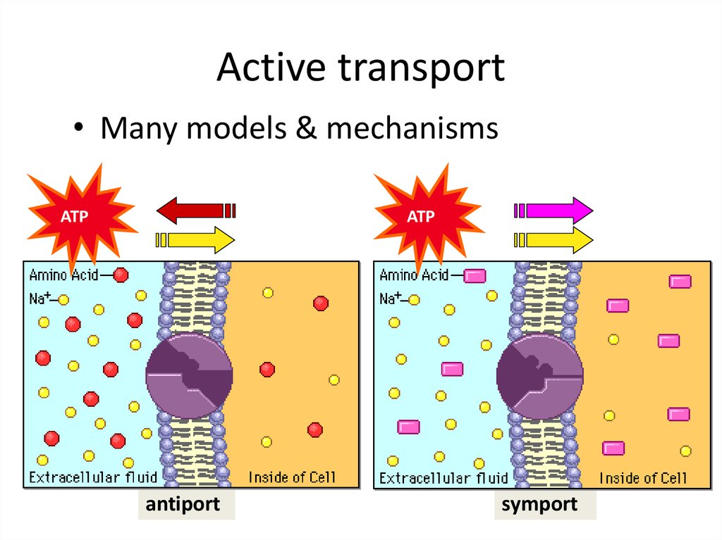 active and passive transport of molecules through Active vs passive diffusion  there are different types of transport systems, which help moving substances from one place to another basically, there are two mechanisms of transportation namely active and passive transport.