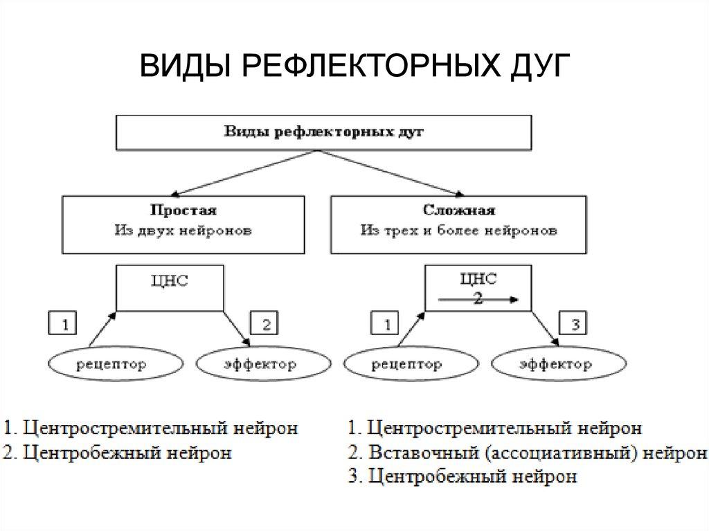 части схема составные рефлекса