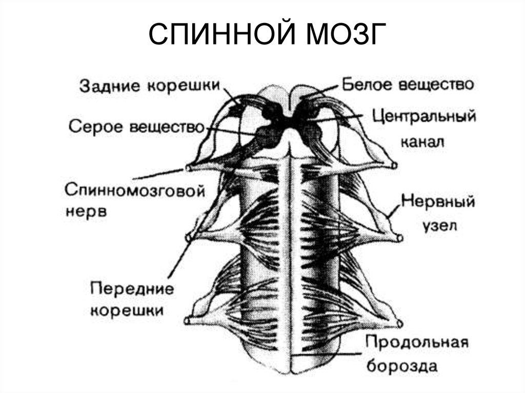 это участок спинного мозга в картинках вольер несколько игрушек