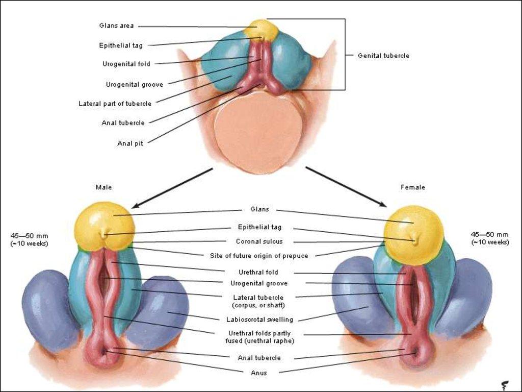 Classification of female genitals - online presentation