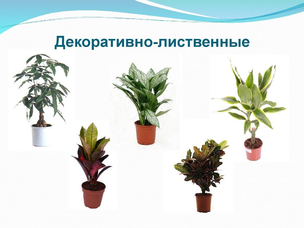 растений виды фото декоративно-лиственных