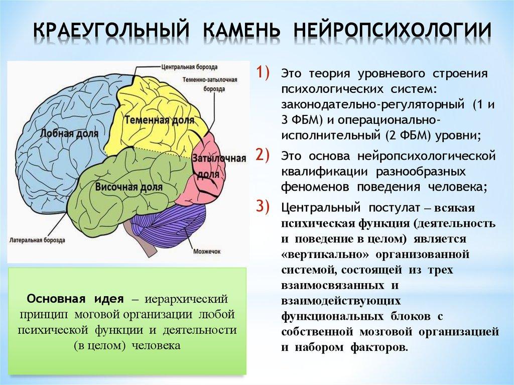 Структурно функциональная девушка модель работы мозга по а р лурия anastasia konkova