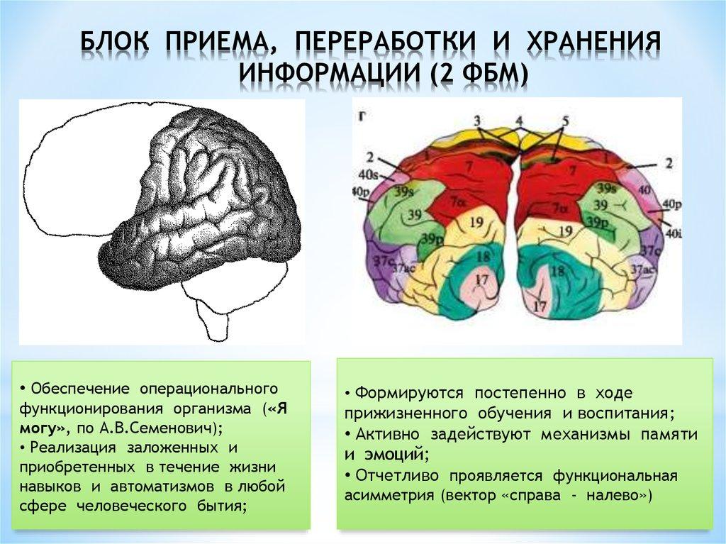 Структурно функциональная девушка модель работы мозга а р лурия авито москва работа вакансии для девушек