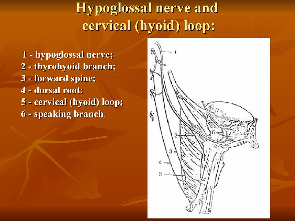 Hypoglossal nerve and cervical (hyoid) loop: