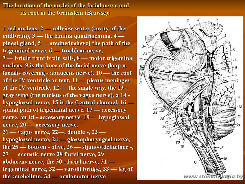 The location of the nuclei of the facial nerve and its root in the brainstem (Browse):