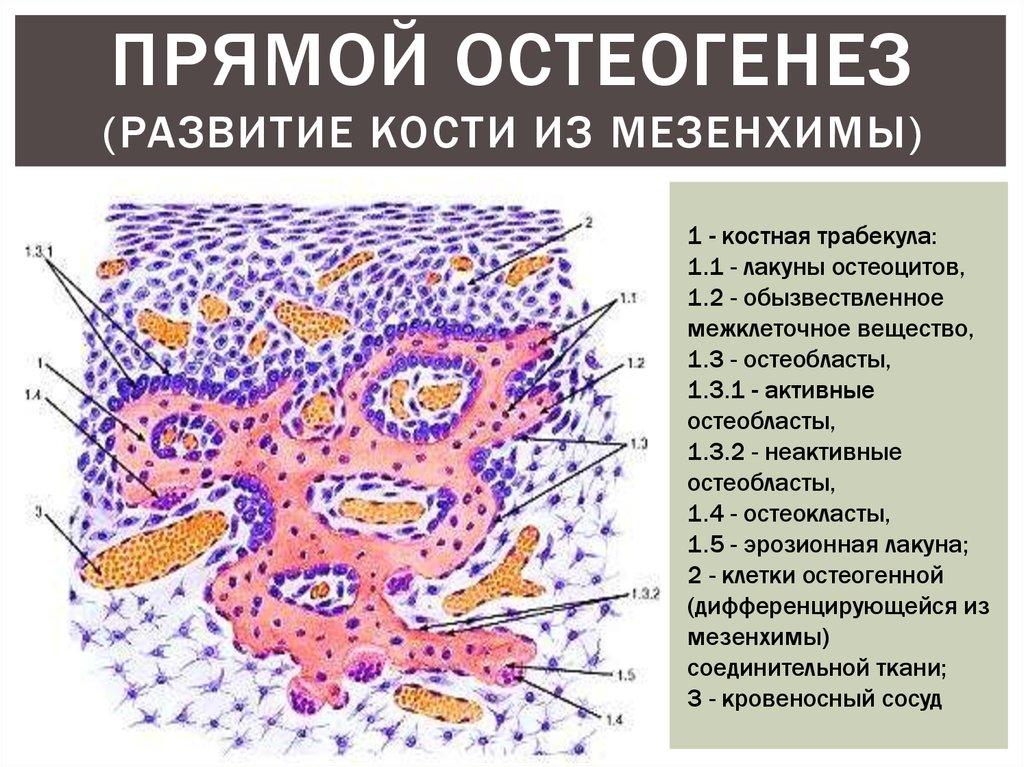 Что развивается из мезенхимы