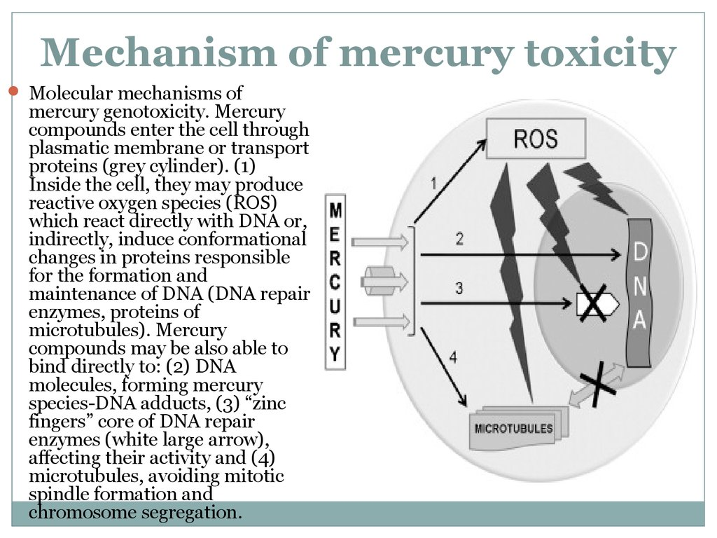 Mechanism of mercury toxicity