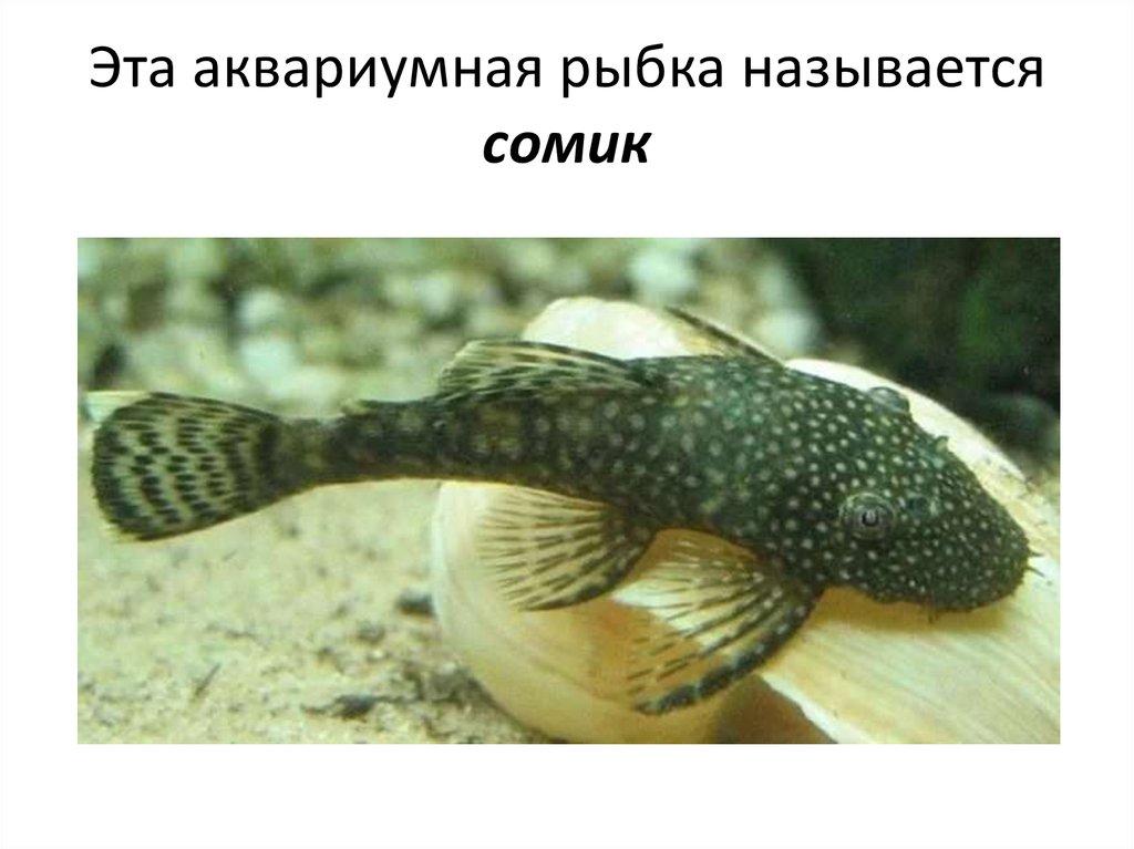 Сомик аквариумный картинка для детей