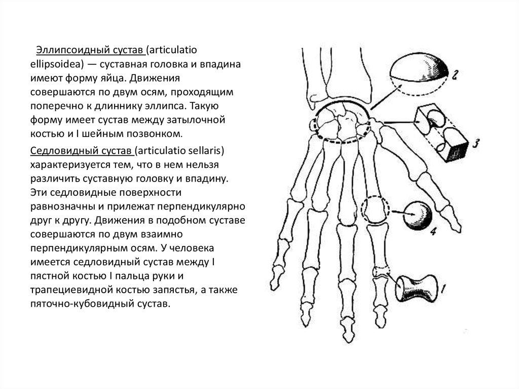 О взаимосвязи формы суставов с их функции гигрома локтевого сустава удаление форум