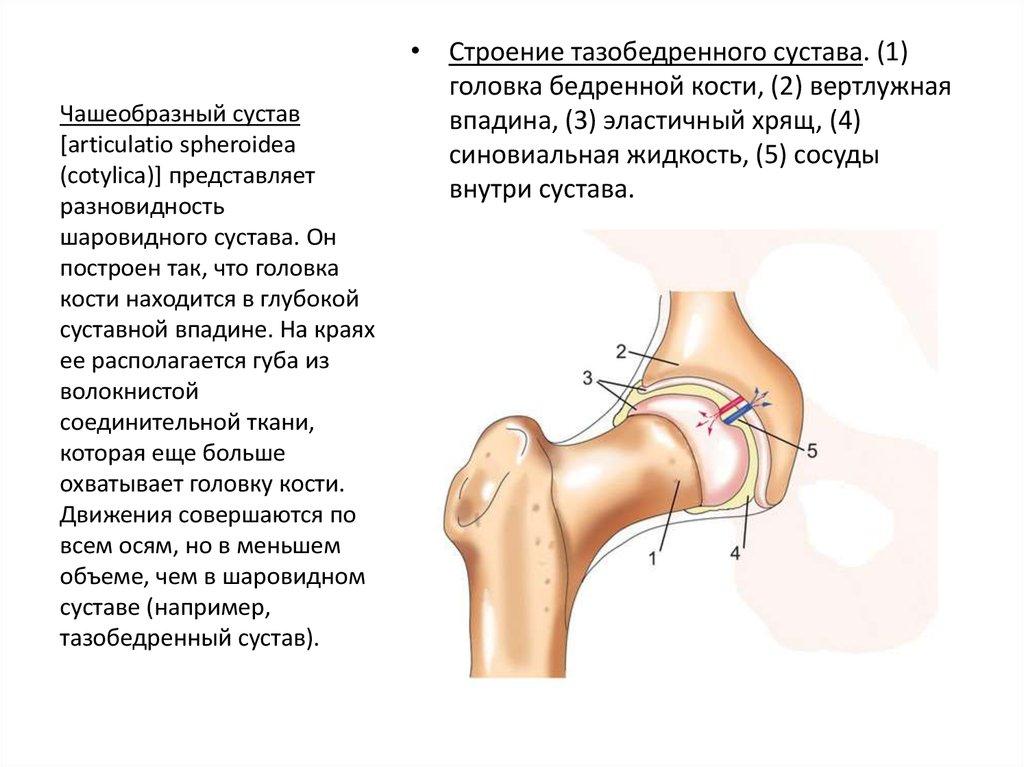 К разновидности чашеобразных суставов если быть более точными он больше литература эндопротезирование голеностопного сустава