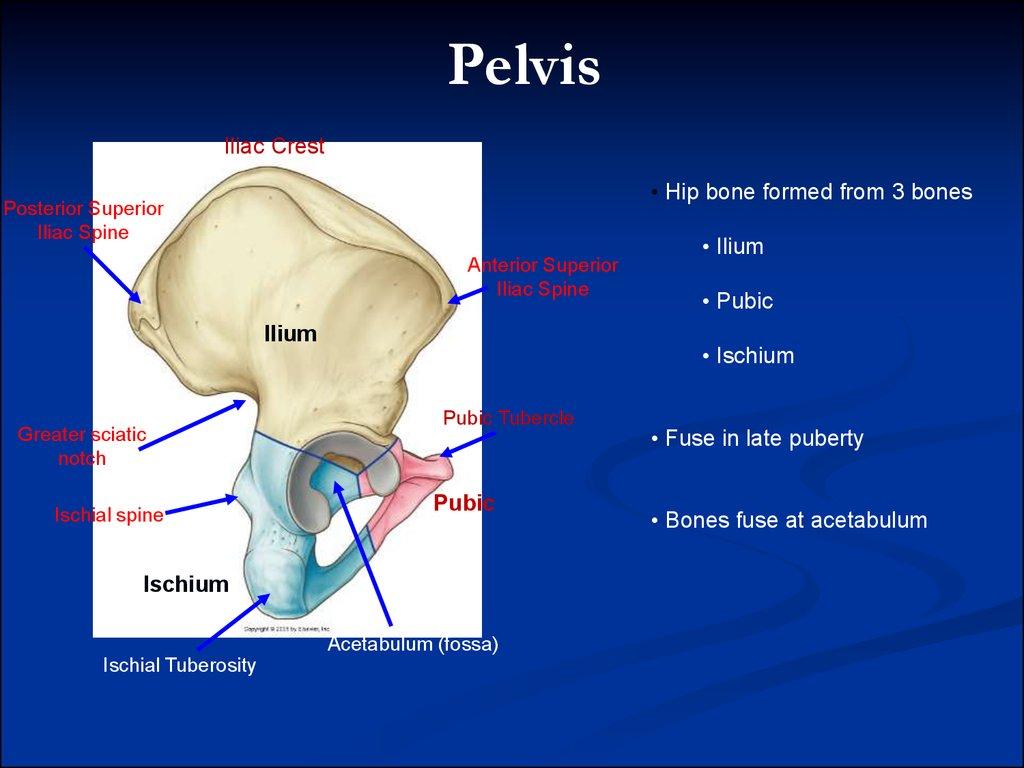 Pelvic аnatomy - online presentation