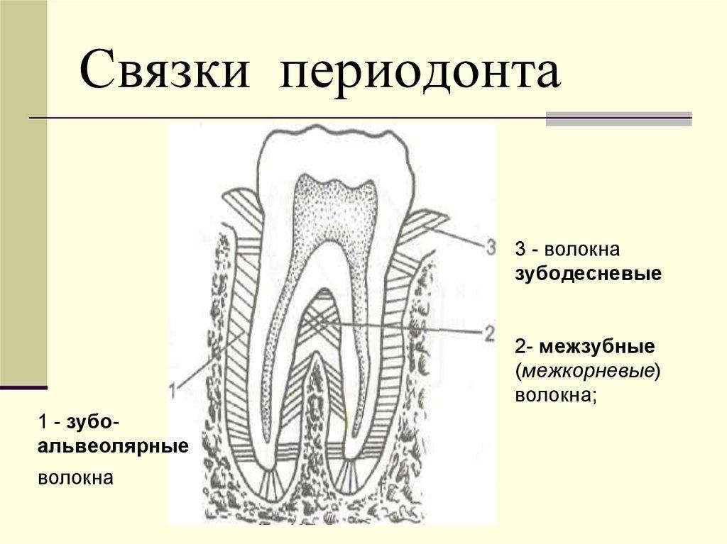 хабаровского дк, картинка строения волокон периодонта такое глубинные