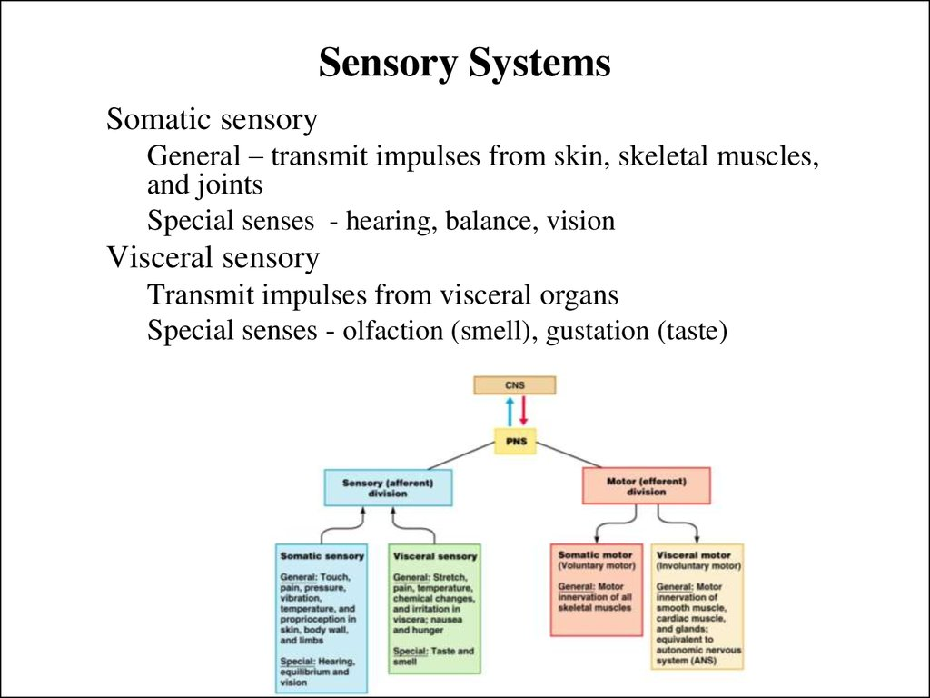 sensory system From proprioceptive and vestibular system deregulation, to tactile, auditory, and oral sensory sensitivities, sensory processing disorder can have widespread impacts on a child's development it can negatively impact her ability to focus and retain material being taught in the classroom, cause gross and fine motor delays, increase emotional.