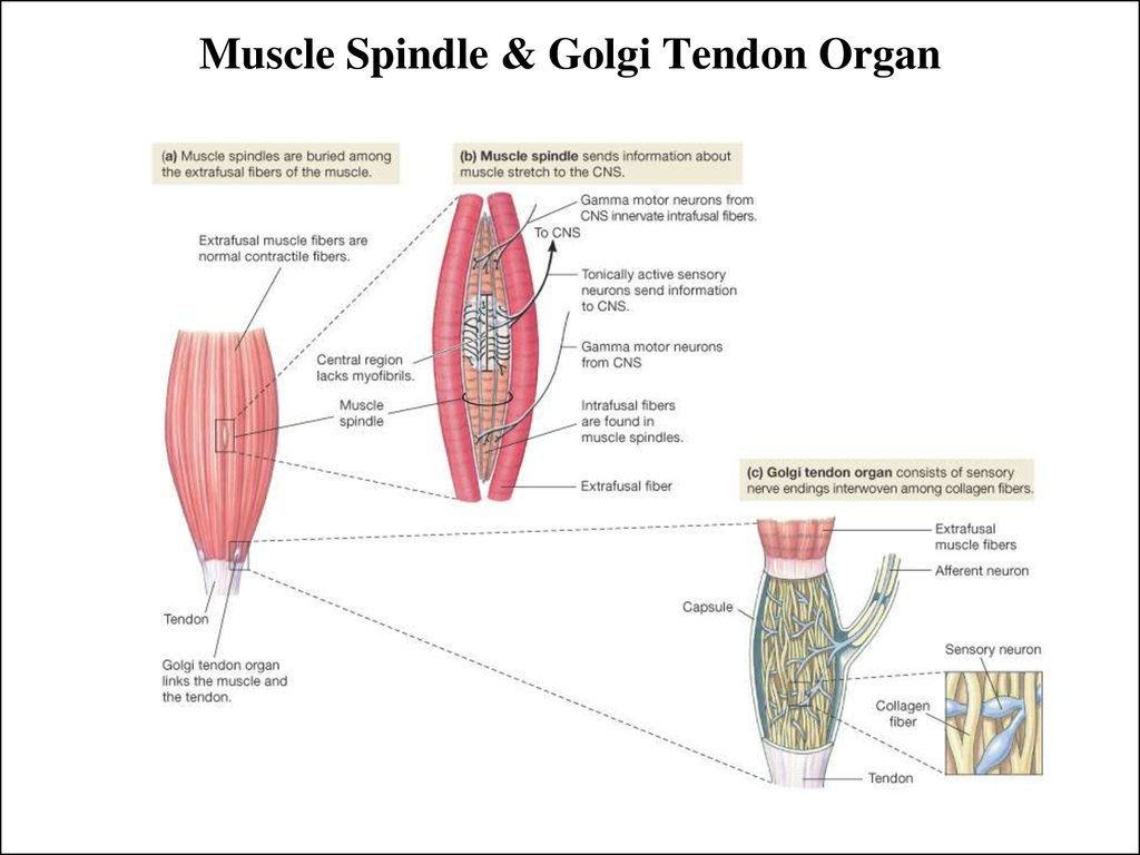 Muscle Spindle & Golgi Tendon Organ