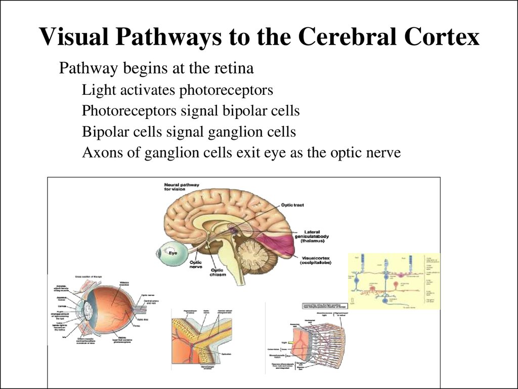 Visual Pathways to the Cerebral Cortex