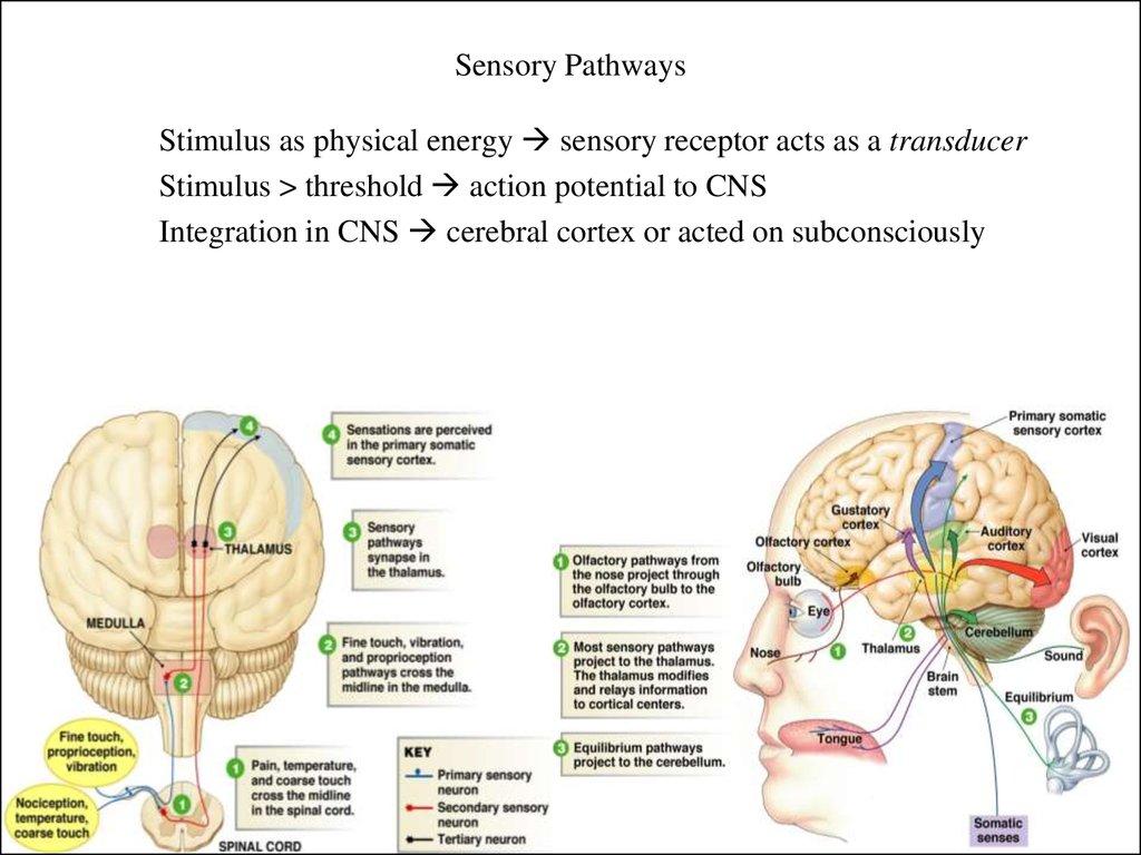 Physio Ex 0 Exercise 3 Essay - Part 3
