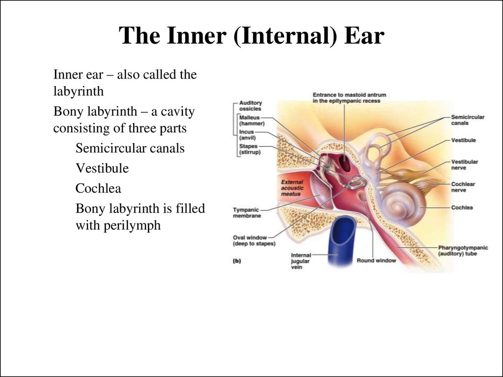 The Inner (Internal) Ear