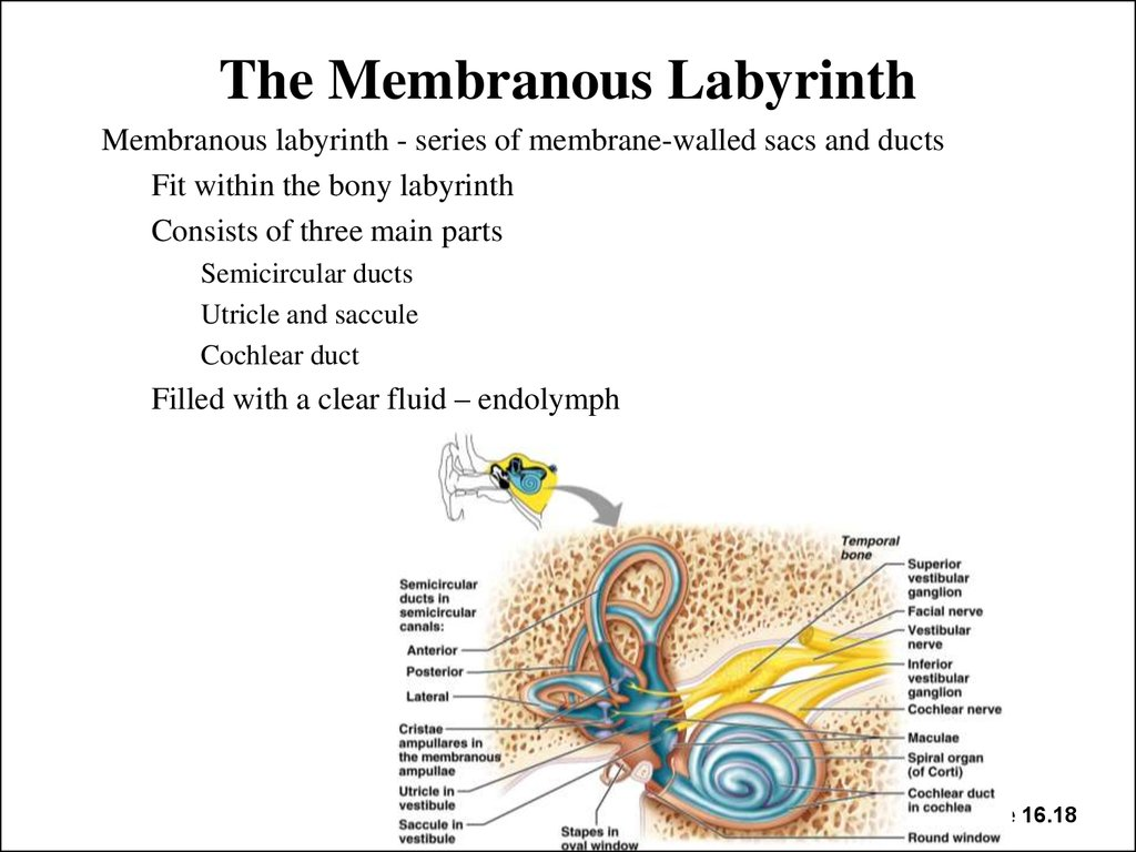 The Membranous Labyrinth