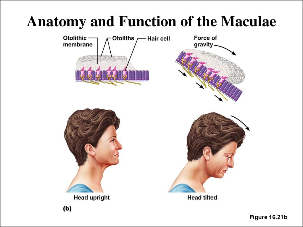 Anatomy and Function of the Maculae