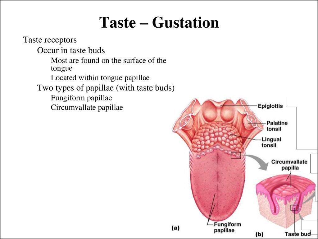Taste – Gustation