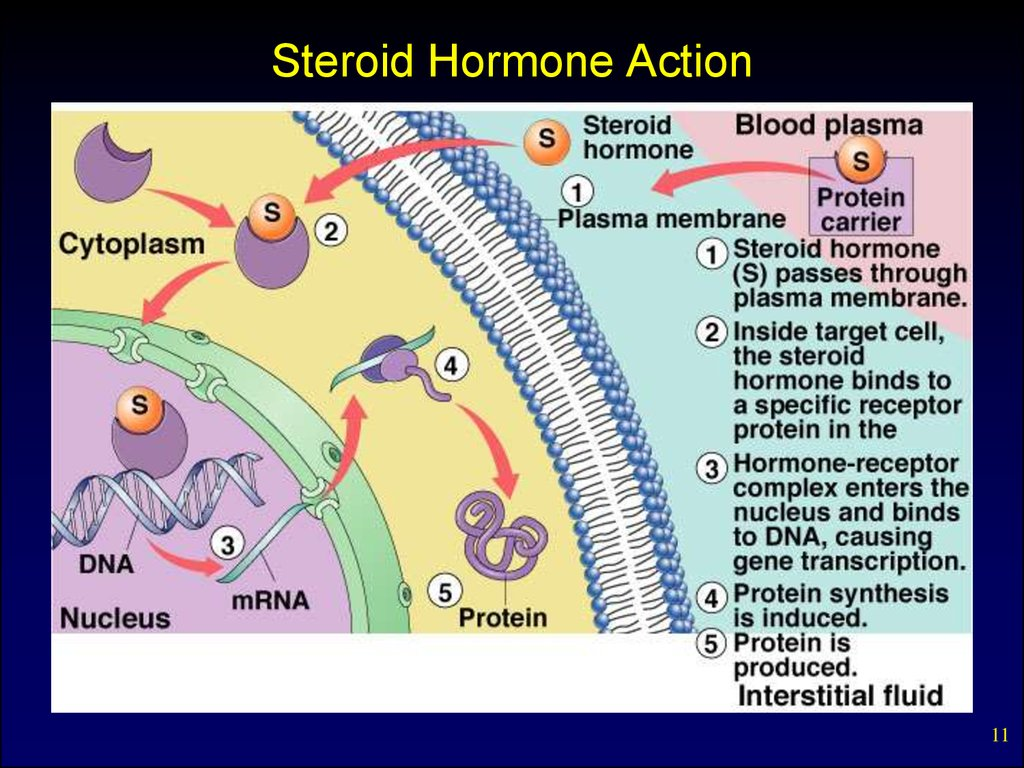 Internal secretion. Basic concepts. Pituitary hormones and