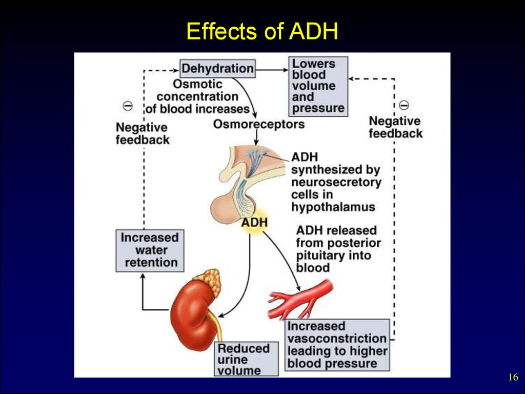 Effects of ADH