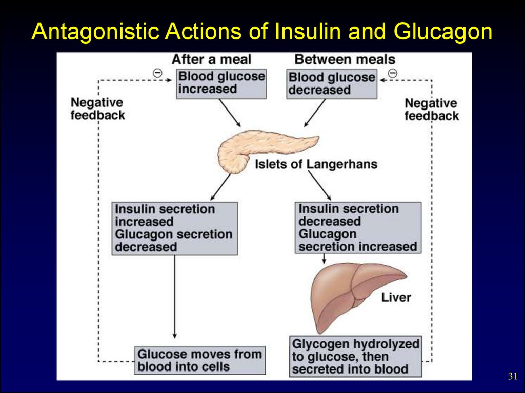 Antagonistic Actions of Insulin and Glucagon