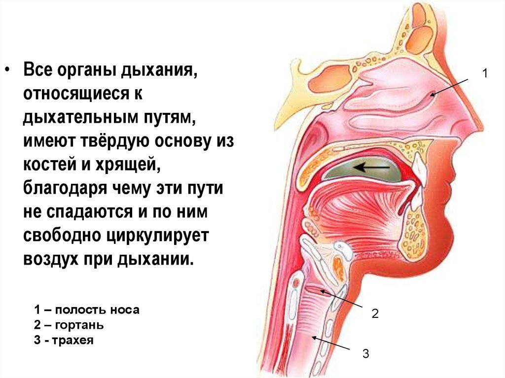Полость носа гортань трахея бронхи легкие