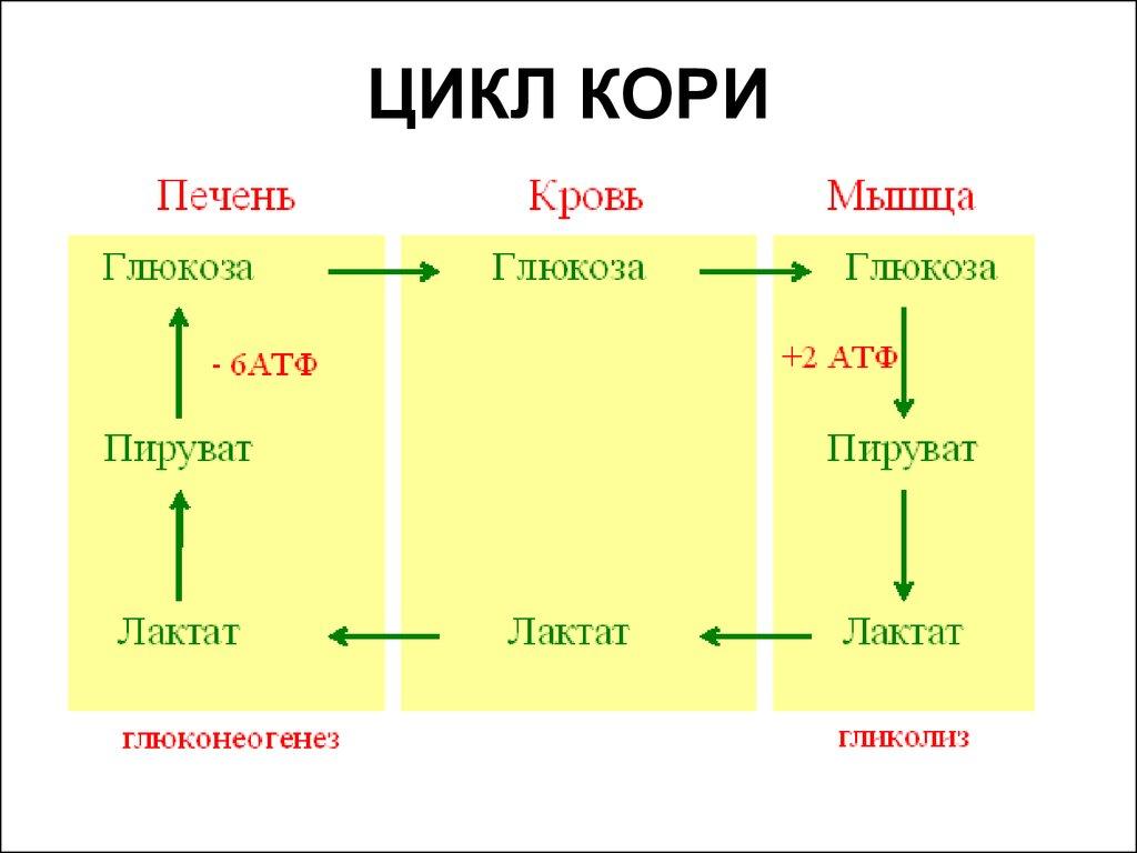 cori cycle