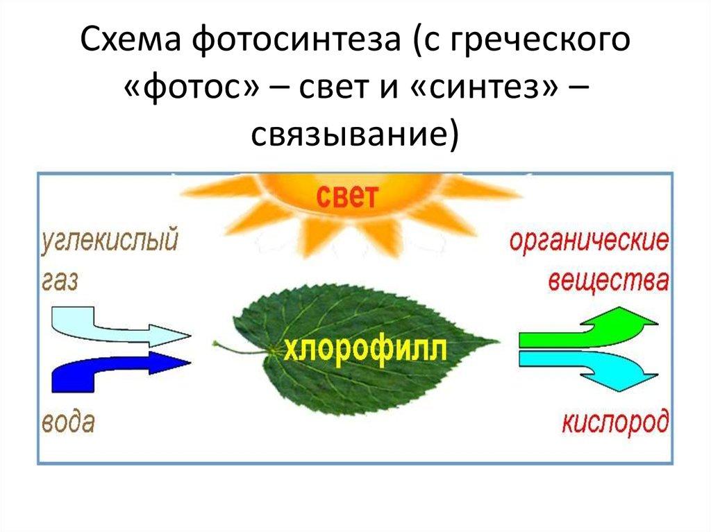 обычно холодные схема процесса фотосинтеза целый день