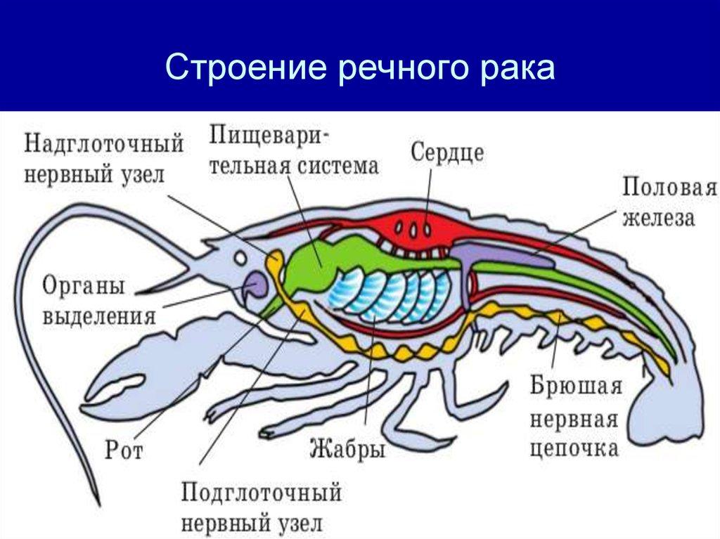 Картинка речного рака его органы
