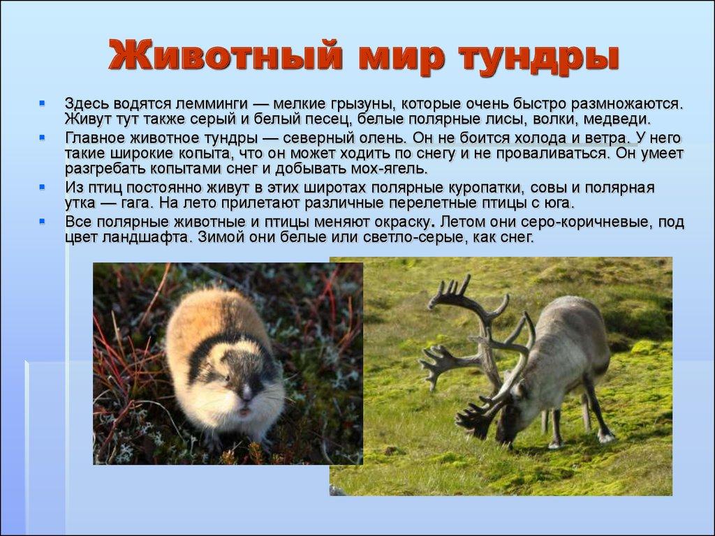 животные тундры фото и названия встретить
