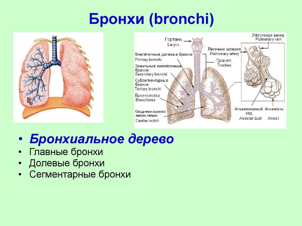 Бронхит и бронхиолит