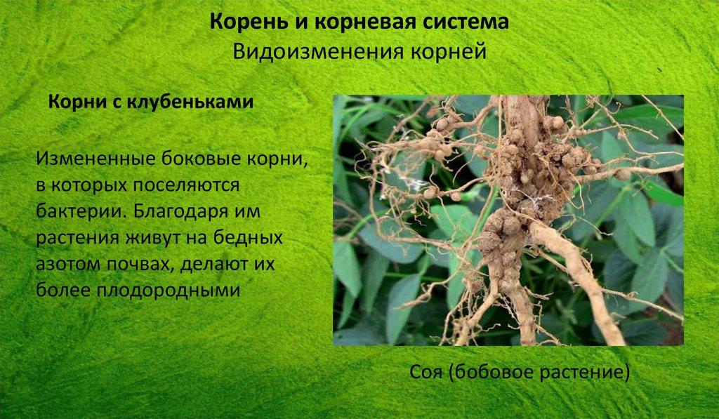 строение растения головка корень шейка