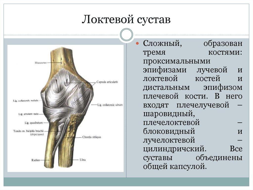 плечевая кость не образует сустав с