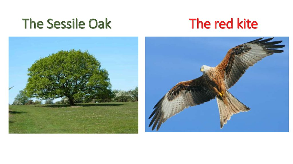The Sessile Oak The red kite