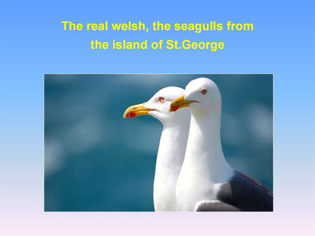 The real welsh, the seagulls from the island of St.George